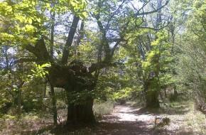 Ruta de senderismo árboles centenarios en Sierra de Gredos